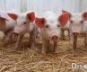 正确认识猪的营养特性和必威体育手机官网要求